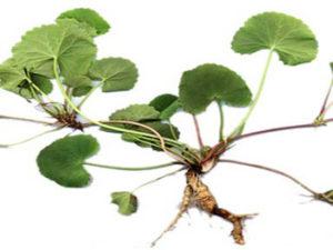 Propiedades y Beneficios de la Centella Asiatica