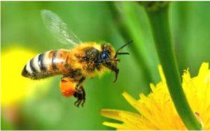 Quiénes pueden consumir polen para la salud
