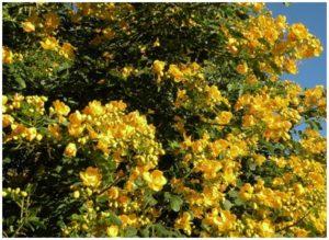 Remedios naturales con hojas de Sen