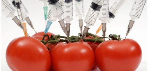Peligros tomates transgénicos
