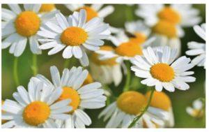 Remedios caseros con flor de manzanilla