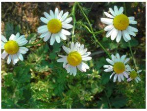 Beneficios de la flor de manzanilla