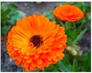 Remedios caseros utilizando flor de caléndula