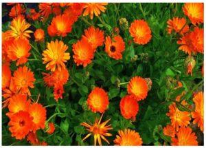 Usos de la flor de caléndula